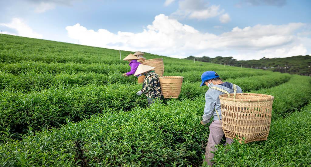 recolectores de te japon andes tea